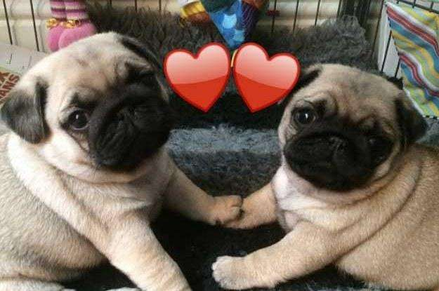<strong>cachorro</strong>S PUG
