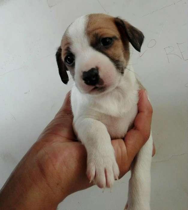 Fox Terrier. Disponible Hembra Y Macho