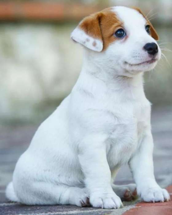 Lindo Jack Russell Terrier, Manto Blanco