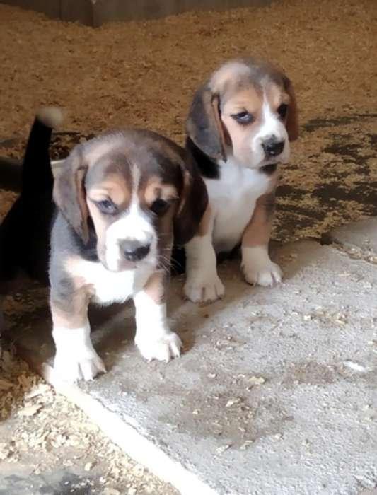 Tiernos Beagles