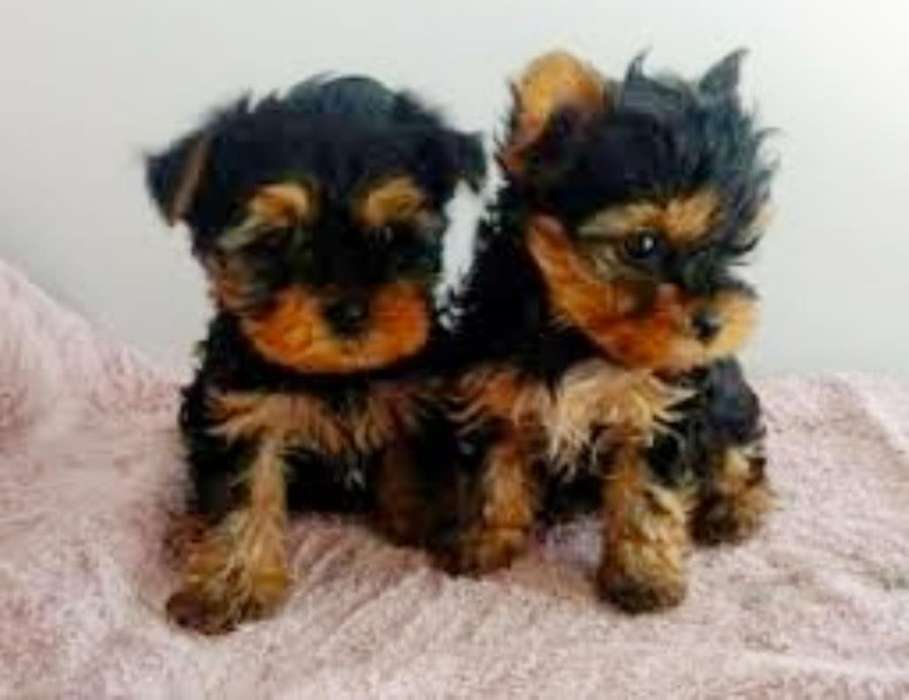 Vendo Cachorrito Yorkshire Terrier Mini