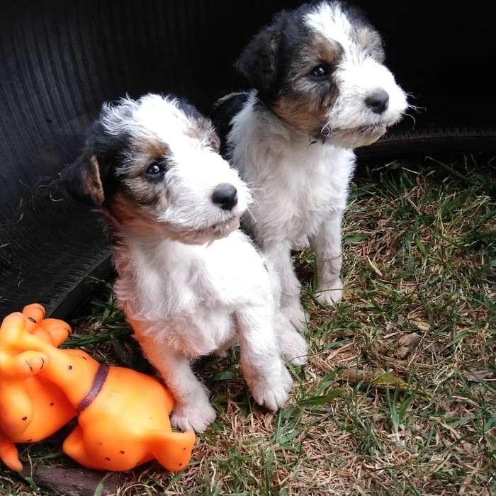 Fox Terrier Wire Puros 2478502601