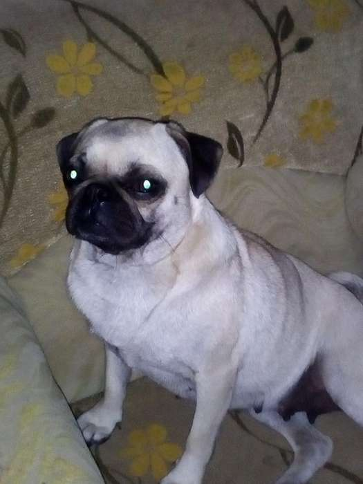 Pug Carlino Hembra de 1 Año