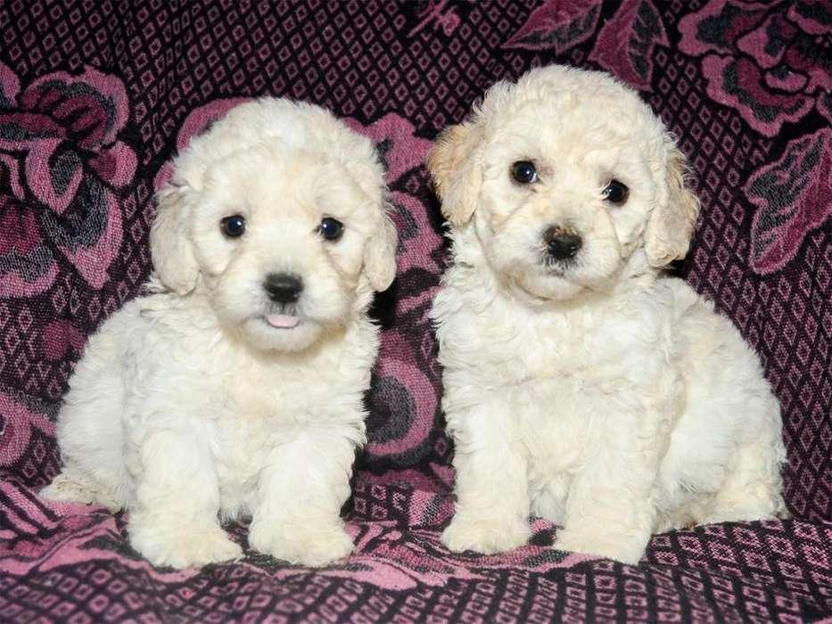 Bellos Cachorros Poodle Raza Pequeña *ANTIALÉRGICOS NO BOTAN PELO* Garantía de Raza y Salud