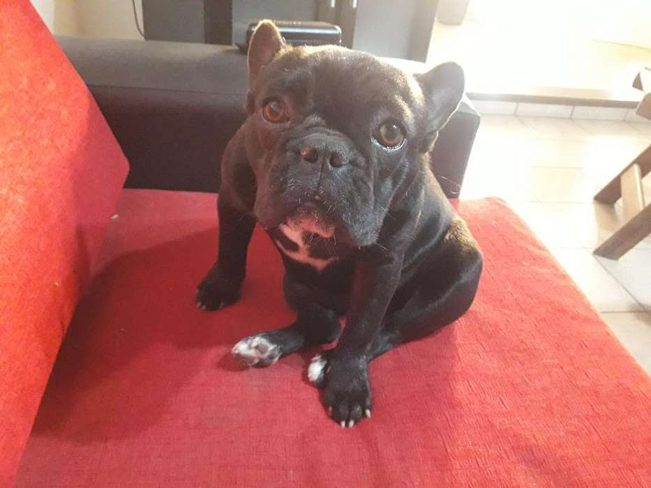 Bull Dog Frances Hembra 6meses
