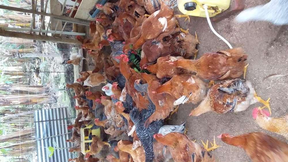 Vendo pollos criollos 0967577839