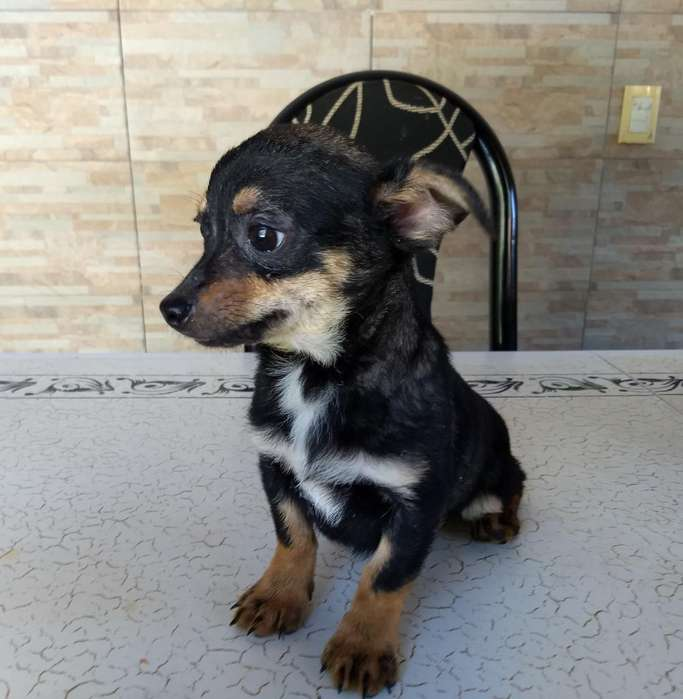 Machito Chihuahua Pelo Corto
