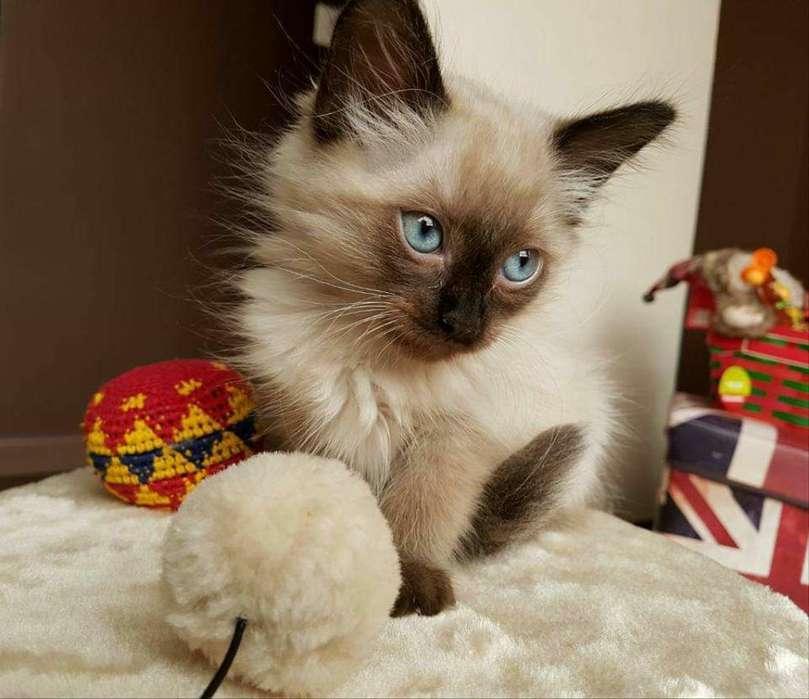 Gatos Balineses Ya Van Al Arenero