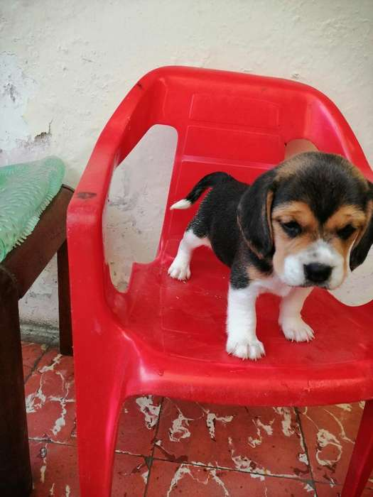 Hermosa <strong>beagle</strong> Disponible