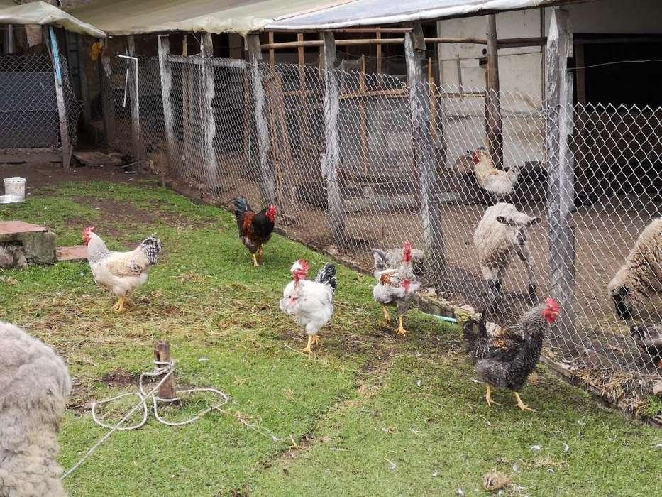 Gallos Criollos Chongos