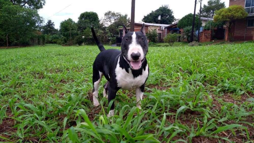 Bull <strong>terrier</strong> Macho para Servicio