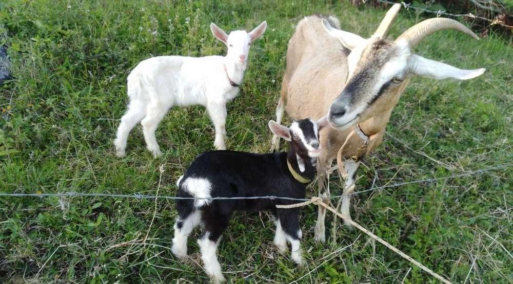 Vendo Hermosas Cabras Dando 2 Litros