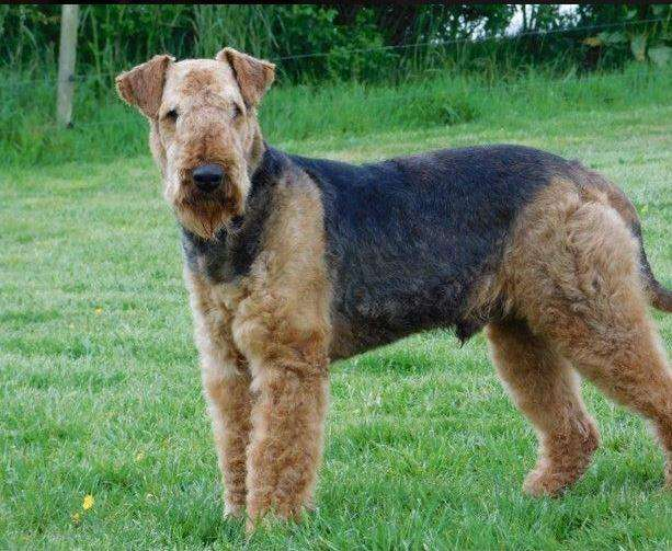 AIREDALE <strong>terrier</strong> MACHOS Y HEMBRAS