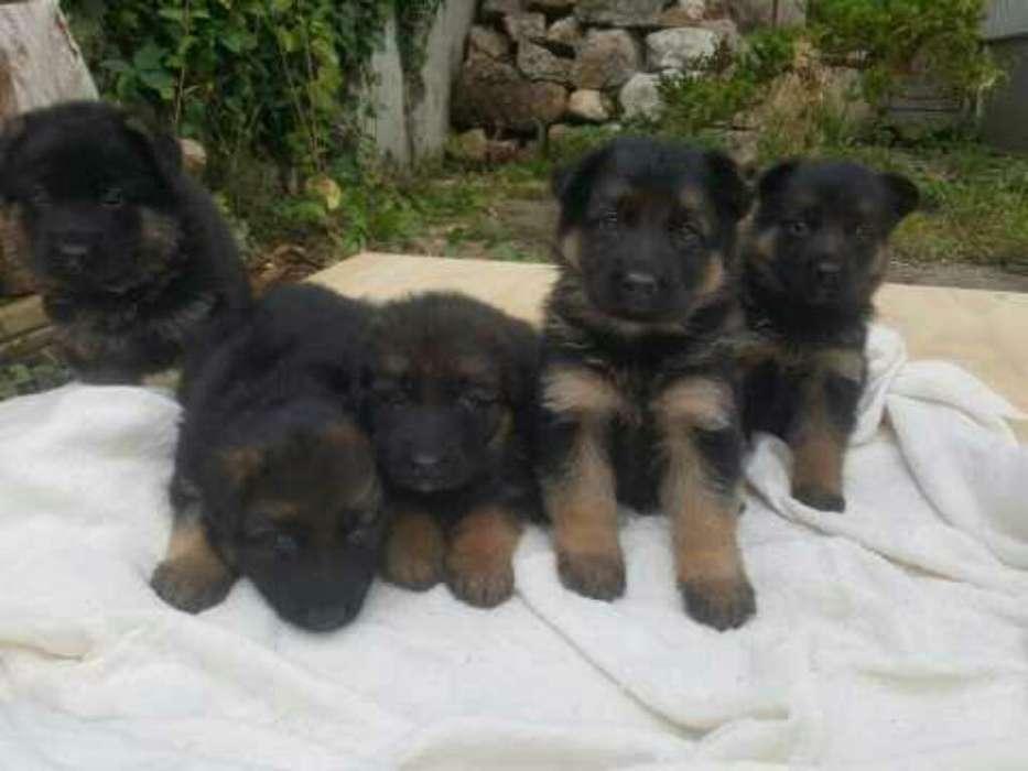 Cachorros Pastores Aleman Puros