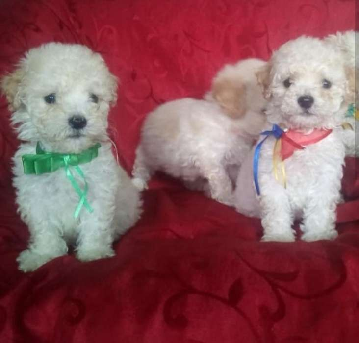 Cachorritos French Mini Toy Raza Pura