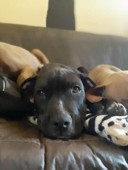 Último Cachorro Pitbull Macho