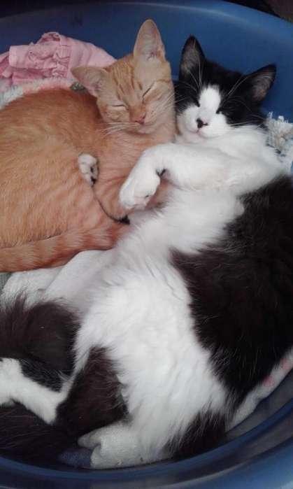 <strong>gato</strong>s en adopción
