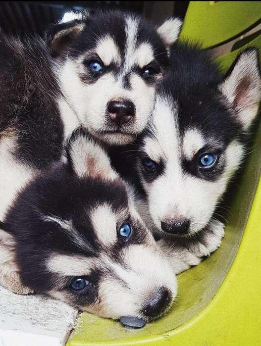 Se Venden Cachorros Husky