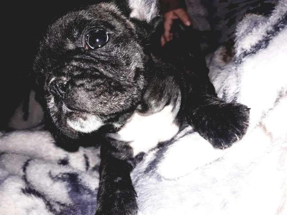Bulldog frances negociable 3518151234