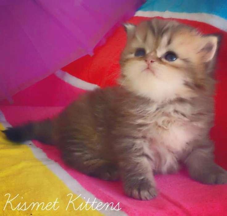 Cria Gatos Bebes Certificados Pura Raza