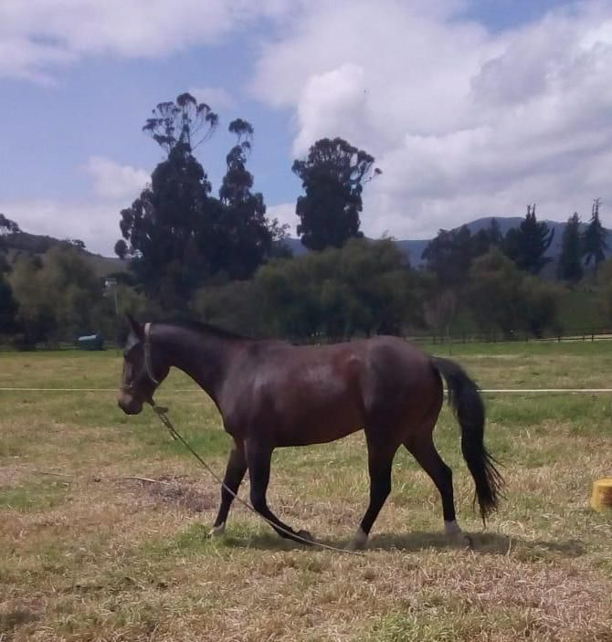 Venta de caballo cuarto de milla - Subachoque