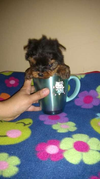 Yorkshire Terrier Te Cup Hermoso
