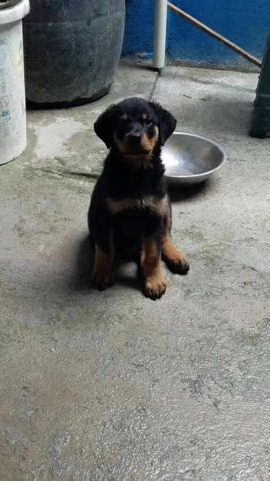 Vendo <strong>cachorro</strong> Rottweiler 5 Meses