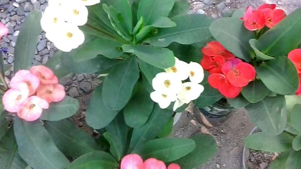 coronas de cristo euphorbias milli 10 colores diferentes