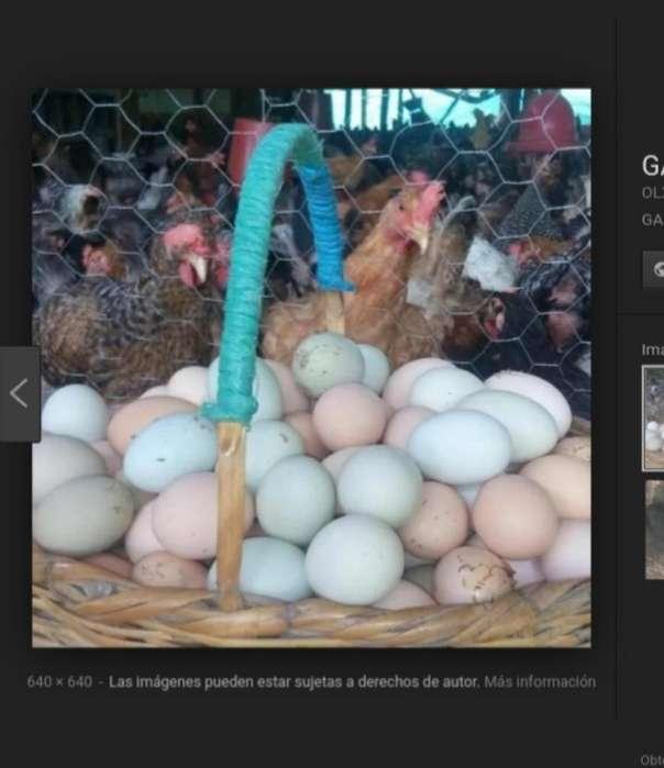 Se Vende <strong>pollos</strong> Araucanes para Criar