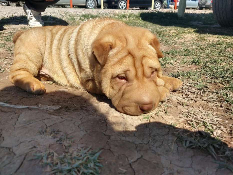Hermoso <strong>cachorro</strong> Sharpei Macho.