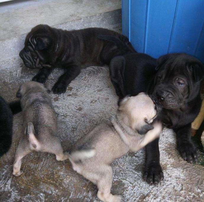 Hermosos cachorros PUG hembra y macho