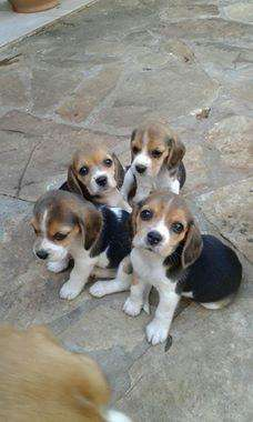 lindos beagle linea juguetones