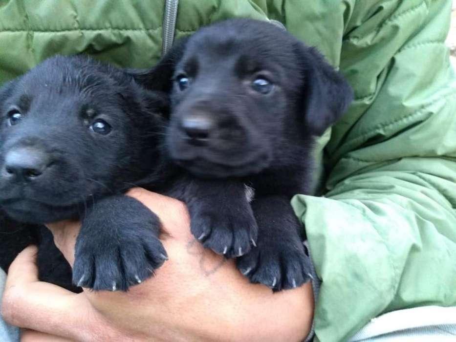 Vendo Hermosos <strong>cachorro</strong>s Labradores