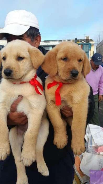 Cachorros Labrador Puros