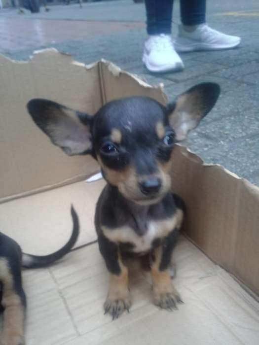 <strong>perro</strong>s Salchicha