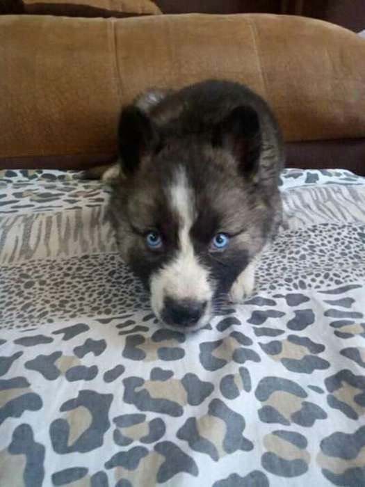 Lobo Husky Siberianos Adorable Es
