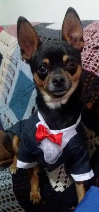 Chihuahuas para Monta