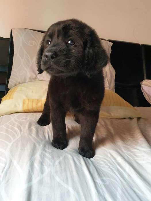 Obediente Labradora Hermosísima