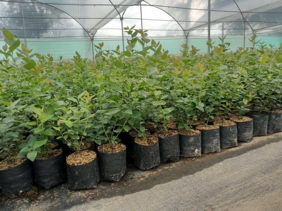 Plantas de Arandanos Azul La Perla