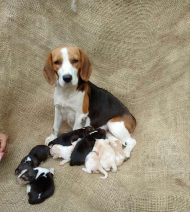 Se Busca Macho Beagle para Monta