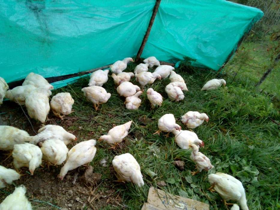 Pollo campesino en pie