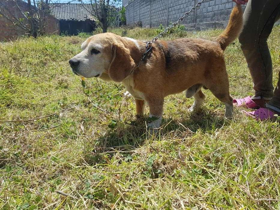 <strong>beagle</strong> de Año Y Medio Ala Venta