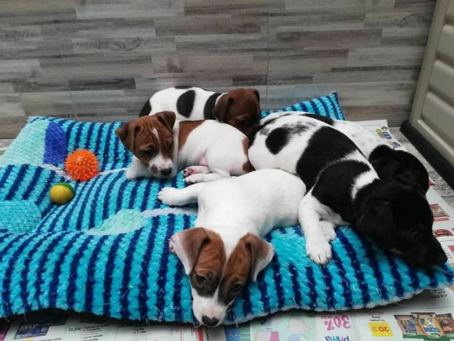 Hermosos Cachorros Jack Russell