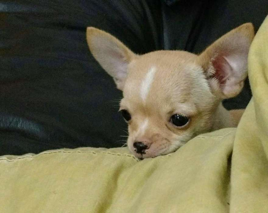 Chihuahua Macho Mini de Bolsillo