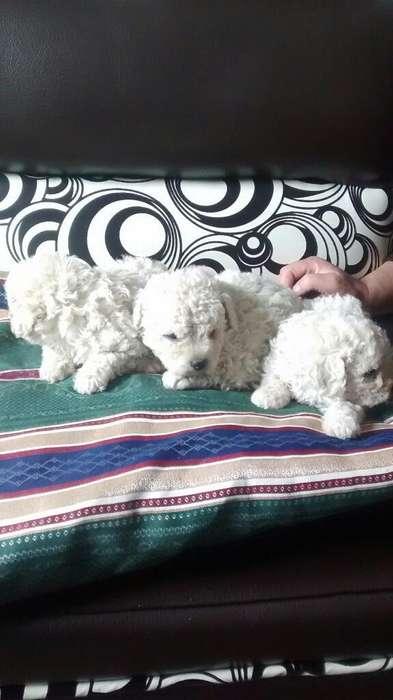 Vendo Cachorros French Poodles de Raza