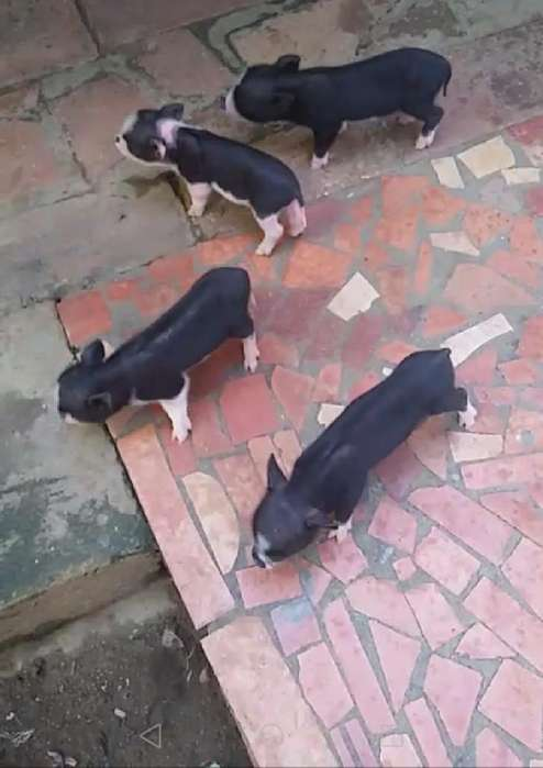 Hermosos Mini Pigs Juliana