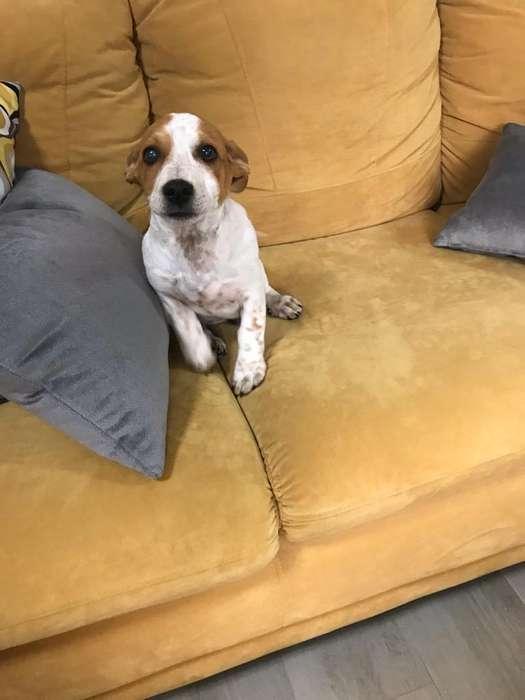 Cachorrito Jack Russell Terrier