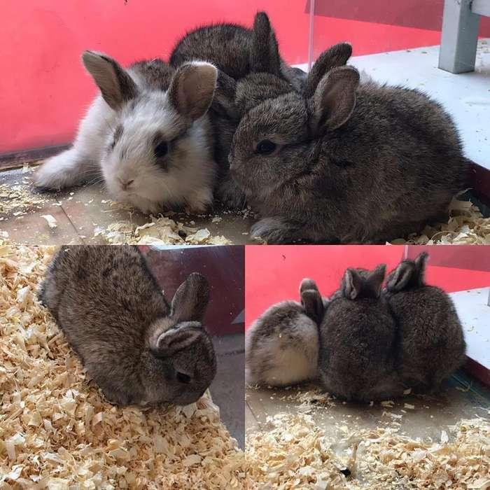 Conejos enanos listos para entregar