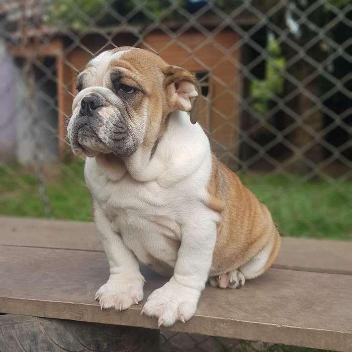 <strong>bulldog</strong> Ingles Disponible