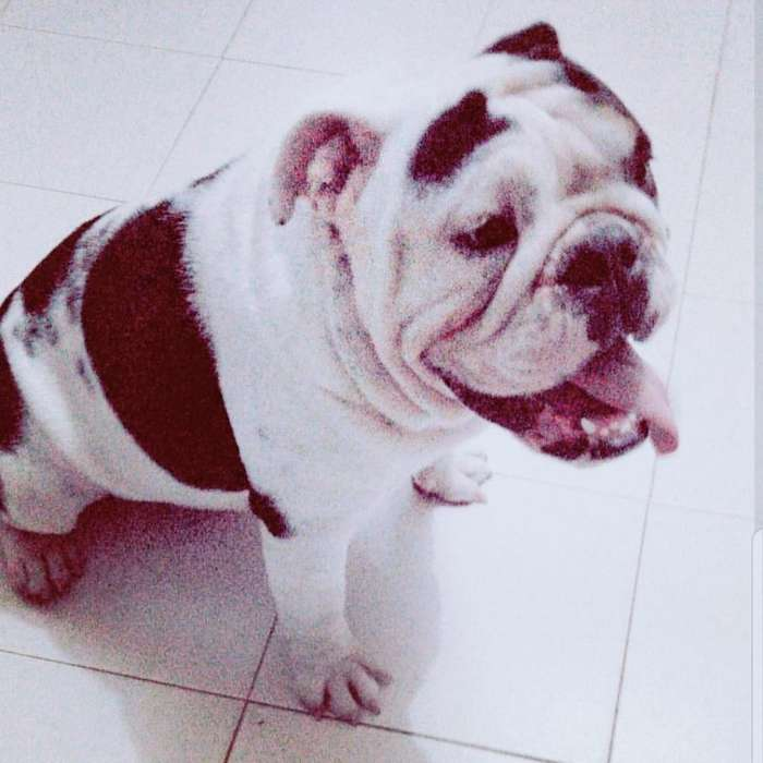Bulldog Inglés Black Tri